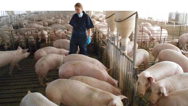 Schweinebetrieb