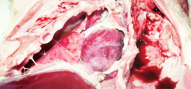 Chronische fibrinöse Pleuritis bei einem Absetzer