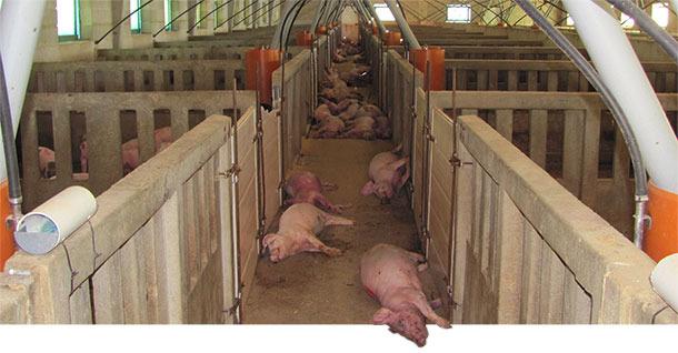 Tote Schweine im Bestand