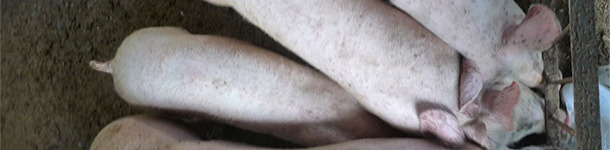 In Beständen mit PCV2-SD und PCV2-SI kann häufig eine heterogene Gewichtsentwicklung der Schweine beobachtet werden.
