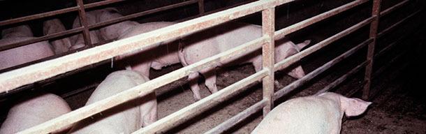 Typische Schweine mit akuter APP und Dyspnoe.
