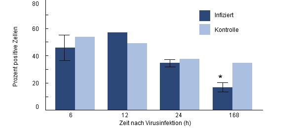 Phagozytose von H. parasuis durch porzine Alveolarmakrophagen von Ferkeln, die zuvor mit PRRSV infiziert wurden.