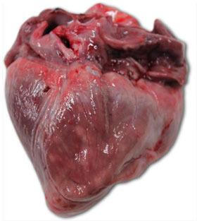 Herz eines Ferkels, welches im Alter von 40 Tagen verendete. Zu erkennen ist eine deutliche Vergrößerung des rechten Ventrikels mit multifokalen Nekrosen (weiße Flecken) und gallertartiger Atrophie des epikardialen Fettgewebes.