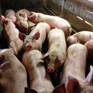 Mastschweine des Betriebs