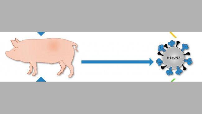 Herkunft des in Dänemark und Frankreich beschriebenen H1avN2-Virus