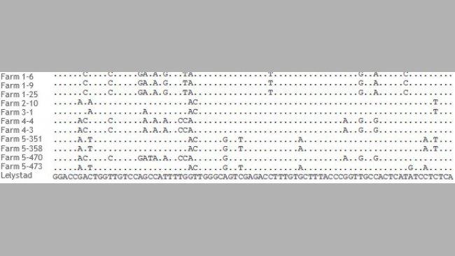 Abschnitt des Alignments von ORF5-Sequenzen von PRRSV-Stämmen aus 5 verschiedenen Betrieben