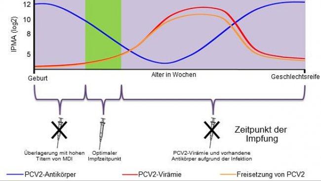 Optimaler Zeitpunkt für eine Impfung der Ferkel gegen PCV2